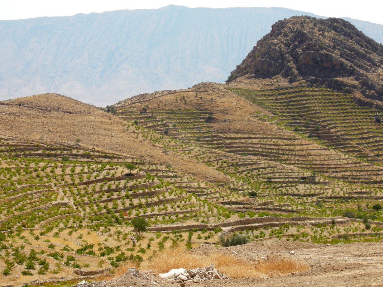 احداث باغ دیم انگور