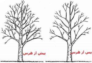 پیش و پس از هرس درختان
